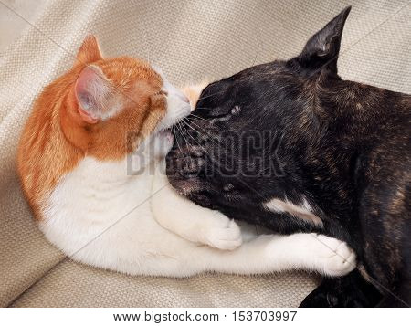 Cat and dog playing. Cat bites bulldog muzzle