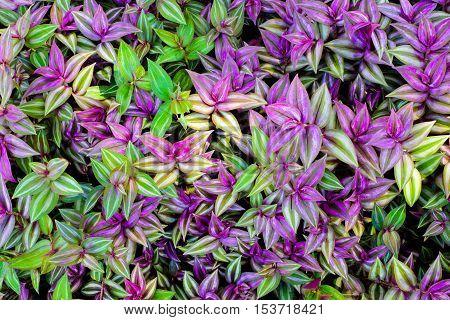 purple and green leaf texture Leaf background in garden.