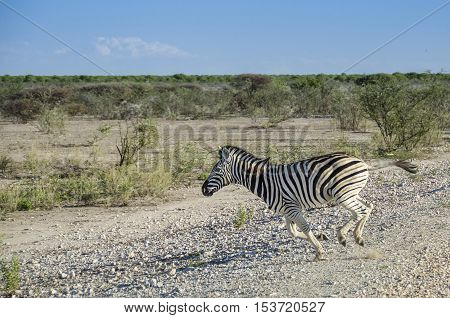 The plains zebra (Equus quagga) running in Etosha national park