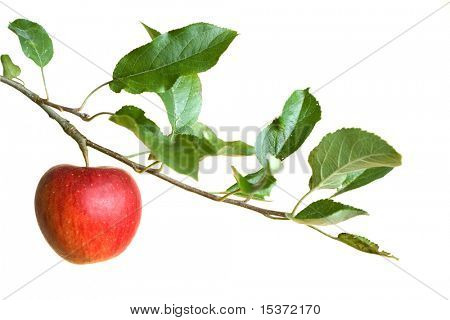 apple on a branch isolated on a white background