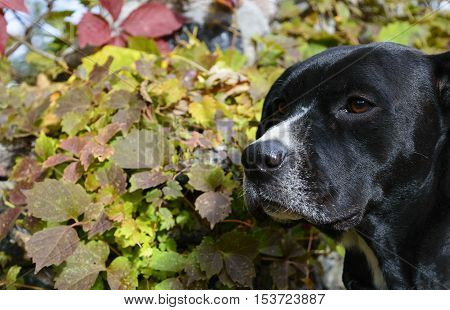 Closeup of black and white labrador mixed dog sniffing air in changing fall weather with colorful ivy leaves in background