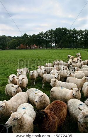 cattle of white sheep with one black sheep
