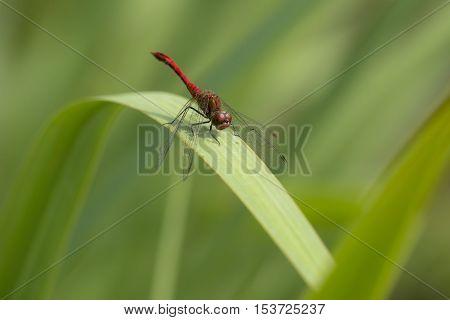 Ruddy Darter (Sympetrum sanguineum) male resting on a leaf of Yellow Iris (Iris pseudacorus)