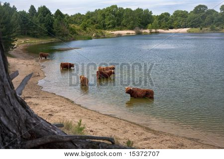cattle of scottish highland cows