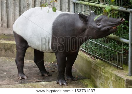 Malayan tapir (Tapirus indicus), also known as the Asian tapir. Wildlife animal.