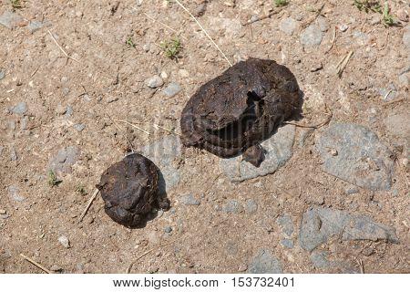 Excrements of musk ox (Ovibos moschatus). Wildlife animal.