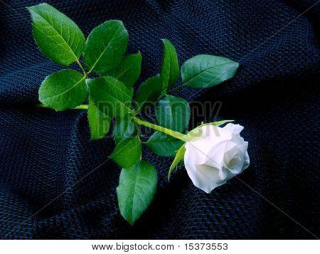 White rose on graphite black