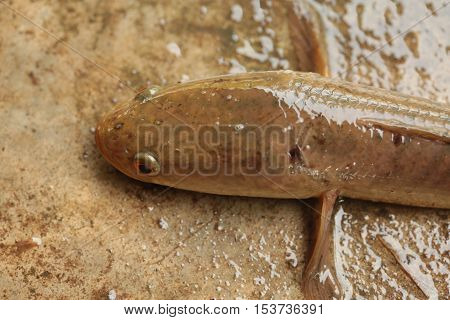 animal, aquatic, black, chinese, cook, cooking, cuisine, delicious, exotic, eye, ferocious, fin, fish, food, fresh, freshwater, life, living, meat, mouth, natural, nature, nutritious, predator, river, tail, water, wild