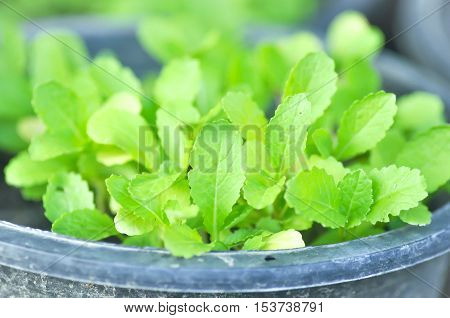 Brassica juncea plantlettuce plant or Chinese mustard plant in the pot