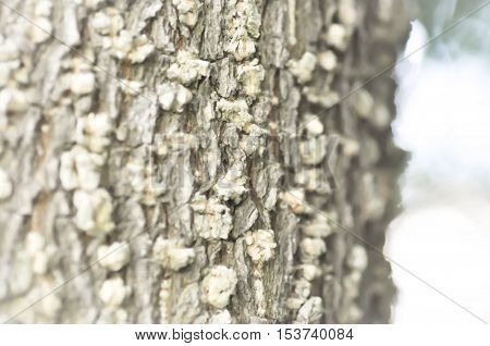 Tree bark texture or bark in blur background