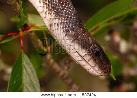 Texas Rat Snake 4
