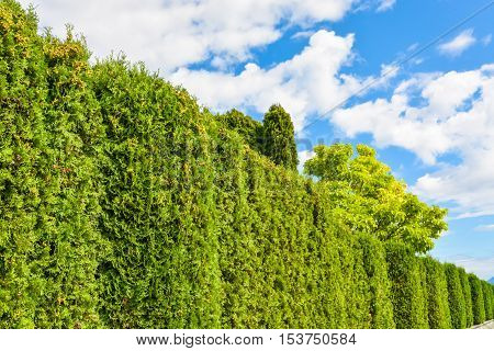Arborvitae green hedge with cloudy sky above