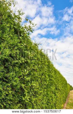 Long green hedge with cloudy sky above