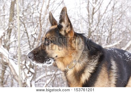 Dog German Shepherd In A Winter Day