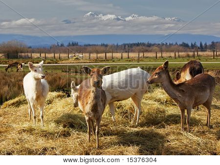 Pack Of Young Fallow Deer
