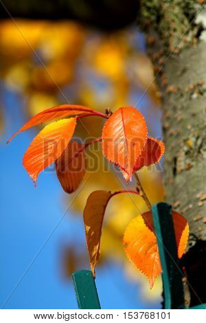 Red orange sakura leaves against bright blue sky. Shallow focus background.