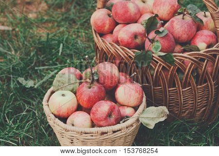Wicker baskets full of red and yellow ripe autumn apples closeup on green grass background. Seasonal fruit gathering, fall harvest in apple garden, agriculture and farming concept