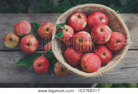 Wicker basket full of red and yellow ripe autumn apples top view background on rustic wood. Seasonal fruit gathering, fall harvest in apple garden, agriculture and farming concept