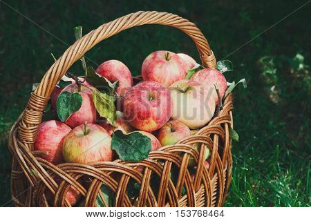 Wicker basket full of red and yellow ripe autumn apples closeup on green grass background. Seasonal fruit gathering, fall harvest in apple garden, agriculture and farming concept
