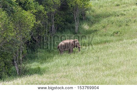 Wild elephant walking out from big trees to stand on green meadow during sunny day in national park of Thailand