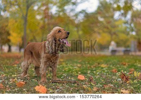 dog breed English Cocker Spaniel walks in autumn park