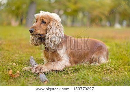 English Cocker Spaniel dog lying with a stick