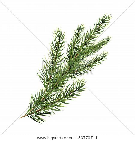 branch of pine tree. Spruce, pine, fir. Vector illustration. Christmas tree.