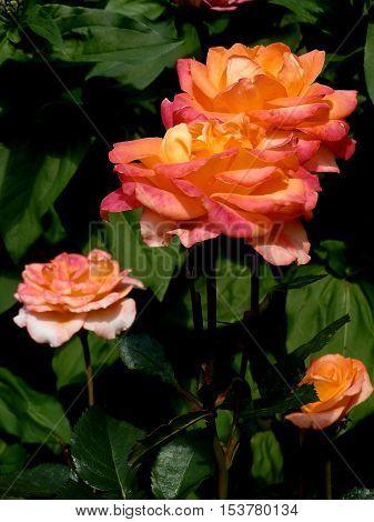 Прекрасные чайные розы, гармонирующие с приятным изумрудным фоном листвы.