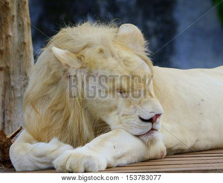 front end of white mutation male African lion lying on a wooden platform, taking a nap, head toward camera