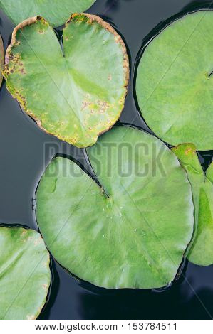 The heart Lotus leaf Lotus leaf-shaped heart