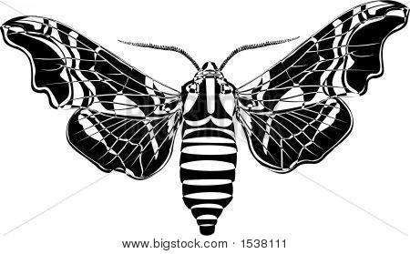 Lime Hawk-Moth Line