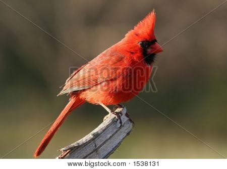 A Cardinal At Rest
