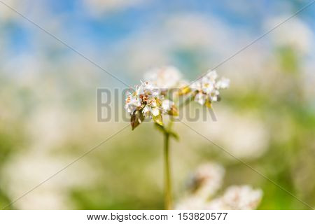 cultivated, culture buckwheat flower on the field