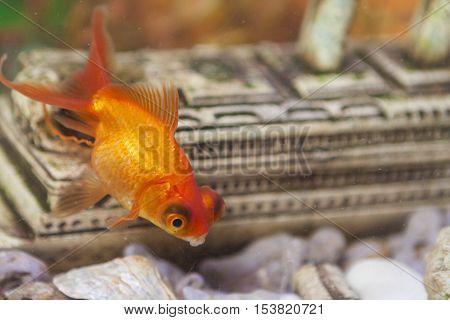 Ordinary Carassius Auratus Individual Fish Known as Golden Fish in Personal Aquarium Indoors. Horizontal Shot