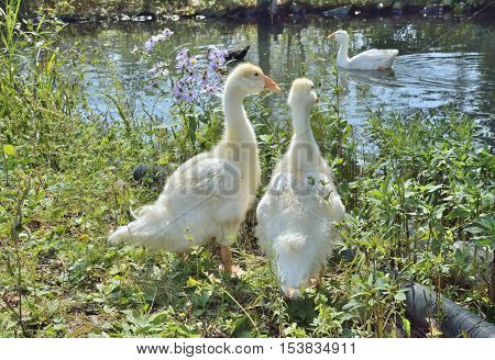 A close up of two goslings at pond.