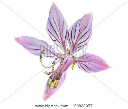 A close up of the wildflower fraxinella (Dictamnus dasycarpus). Isolated on white.