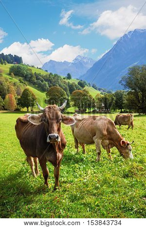 Three Cattles In Idyllic Pasture Landscape, Switzerland