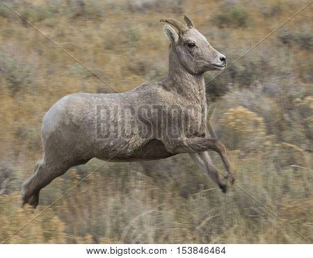 Jumping ewe bighorn sheep over grass and sagebrush