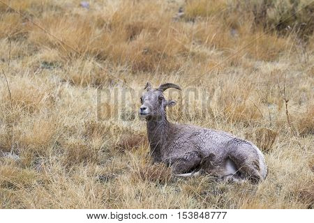 Nap time for bighorn sheep ewe time to ruminate in grass