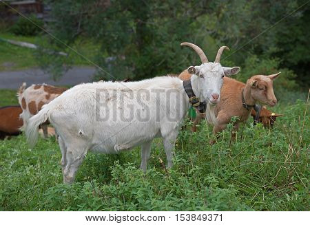 group of white and brown goats grazing in wild menta shrubs