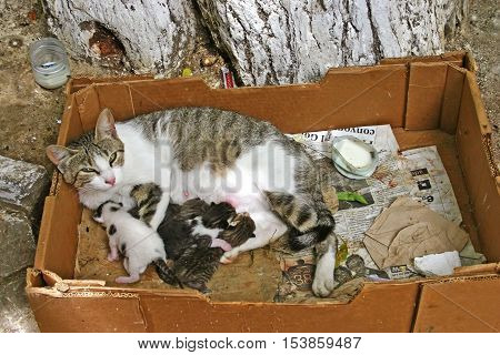 Mother cat (Felis catus) feeding her four kittens in a dirty cardboard box under a tree at the side of a walkway in the ancient medina Fes el Bali in Fez Morocco
