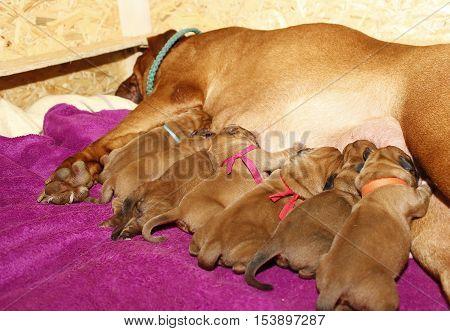Lactating Female - Dogue De Bordeaux