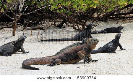 A Galapagos Marine Iguanas at the beach, amblyrhynchus cristatus