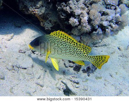 Grumbler Fisch