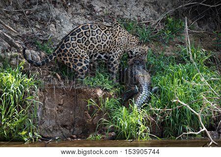 Jaguar Dragging Yacare Caiman On River Bank