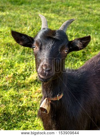 Portrait of a young black goat. The goat looks at you with curiosity. Around his neck hung a bell.