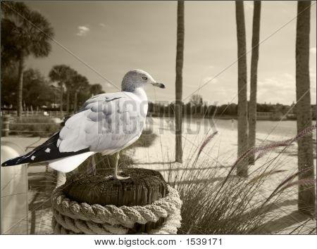American Seagull
