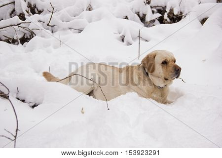 Pale yellow Labrador retriever lying in the snow in the winter forest