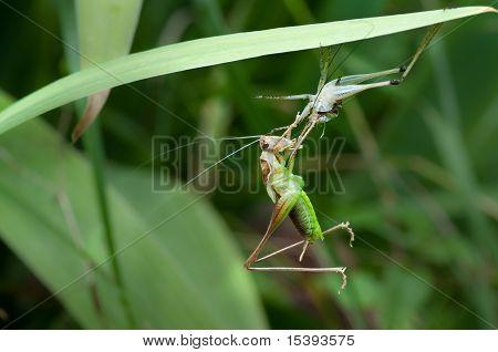 Bush-cricket Metamorphosis