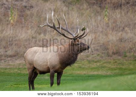a nice bull elk during the fall rut